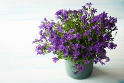 the flowers are lilac Campanula in the pot