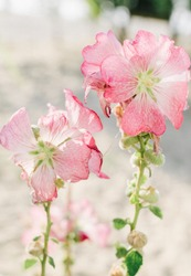 The flowers are pale pink. Sunshine. White sand in the background. Photo color, vertical. There are no people.