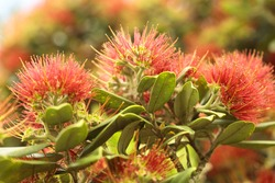 The flowers in bloom of a pohutukawa tree.