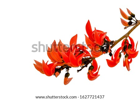 The flowers of Butea monosperma are branched into a branch without branching. Along the branches and ends of the branches The flowers are both orange and bright yellow. ฺBeautiful orange flowers.