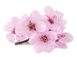 The flowers of cherry plum isolated on the white background.