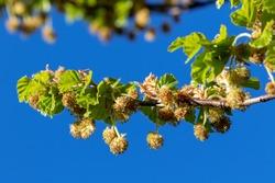 The flowers of Fagus sylvatica, the European beech or common beech