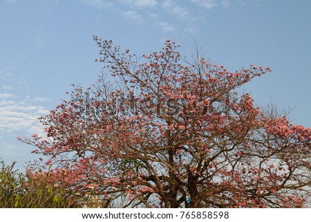 Free photos beautiful tabebuia rosea tree or pink poui and rosy the flowers of pink poui or called rosy trumpet tree bionomial name tabebuia mightylinksfo