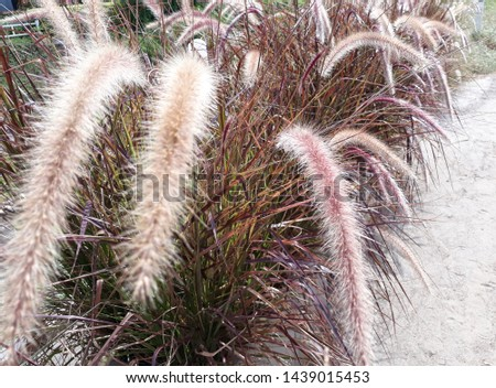 The flowers of reed along the highway #1439015453
