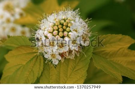 the flowers of the shrub spirea  #1370257949