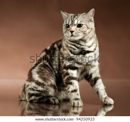 the fluffy brown beautiful adult cat, breed scottish-straight,  on brown  background