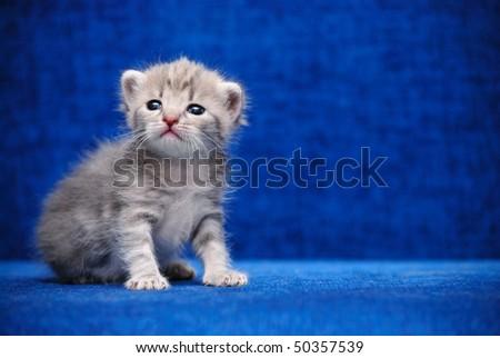 The fluffy kitten sit on a dark blue background