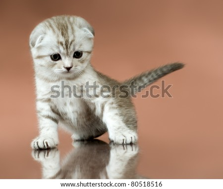 the fluffy striped  beautiful kitten, breed scottish-fold,   on brown  background, look down