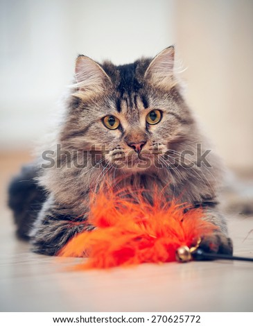 The fluffy striped domestic cat plays with a toy.