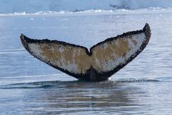 The fluke of a diving HUMPBACK WHALE (Megaptera novaeangliae), in Antarctica