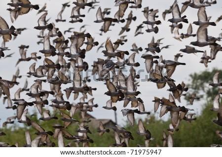 The flying flock of pigeons in sky.