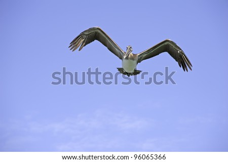 The Flying Pelican Pelican fly over a Florida beach. - stock photo