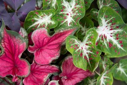 The focal point of summer garden container sports Bicolored caladiums, red ruffled and heart shaped ginger land varieties which sports green leaves with white veins and red speckles.