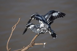 The focus is on the eyes of the two Pied Kingfisher, a beautiful black and white bird perched on a branch. Look for fish swimming in the river.