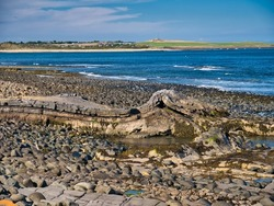 The folded rock strata of Greymare Rock on the Northumberland coast, near Dunstanburgh Castle. An outcrop of the Whin Sill, a tabular layer of the igneous rock dolerite in north east England, UK.