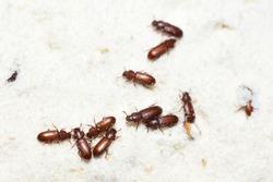 The food pest confused flour beetle Tribolium confusum in wheat flour