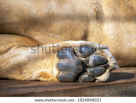 The foot of the lion's hind paw against the background of the animal's belly. Leo rests lying down. The sole of the foot is rough and relief. Foto stock ©