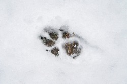 The footprints of a wild beast wolf on white snow