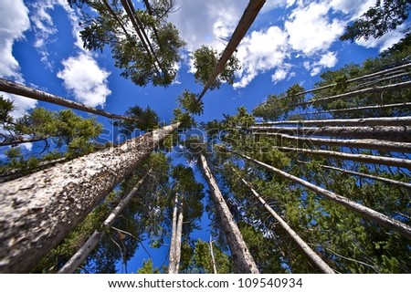 The Forest Above Us. Wide Angle Forest Photo. Nature Photo Collection. Creative Forest Photography. Yellowstone National Park.