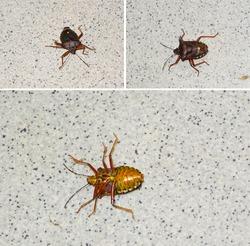 The forest bug or red-legged shieldbug (Pentatoma rufipes) on its back. Photo mosaic