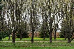 The formal hornbeam or Carpinus betulus alley, seen at Niagara Parks Botanical Gardens.