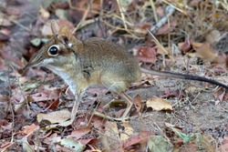 The Four-toed Sengi, or Elephant-shrew as they used to be called, is extremely active patrolling it's territory along well trod paths, ever in search of invertebrates for it's high demand in calories
