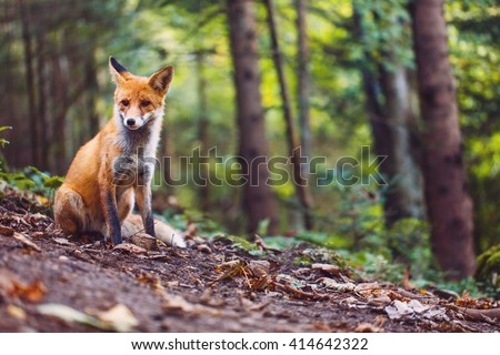 Shutterstock The Fox  Foxes are small-to-medium-sized, omnivorous mammals belonging to several genera of the family Canidae.