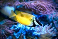 The Foxface rabbitfish Siganus vulpinus in sea water aquarium.