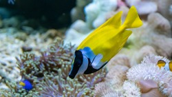 The foxface rabbitfish (Siganus vulpinus) is a species of fish found at reefs and lagoons in the tropical Western Pacific. Tropical Fish. Marine Fish. Wild Life Animal.