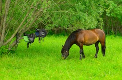 The free bay mare is eating the grass next to the horse ammunition.