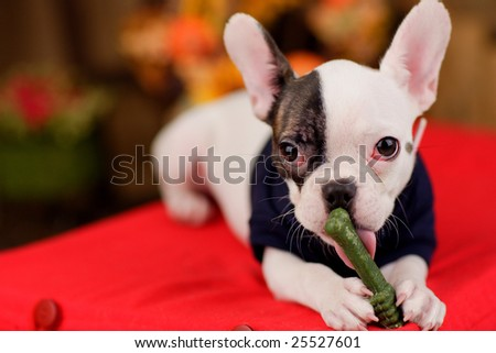 The French Bull Dog licks a green bone toy.