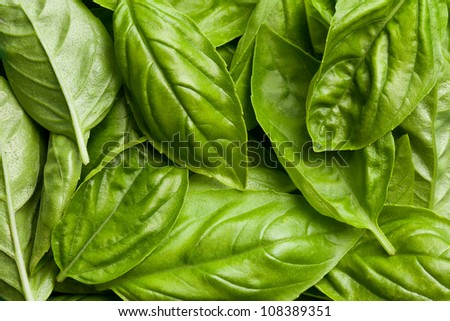 the fresh basil leaves background