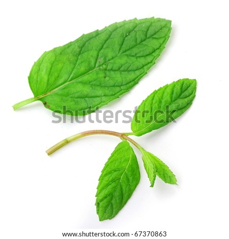 The fresh mint isolated on white background