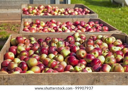 The fresh picked apple harvest in wooden bins on the farm.
