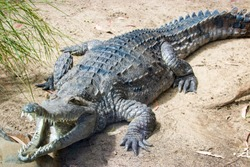 The freshwater crocodile (Crocodylus johnstoni) is a species of crocodile endemic to the northern regions of Australia. The freshwater crocodile is a relatively small crocodilian.