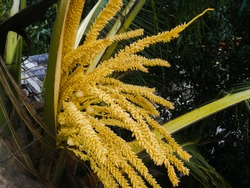 The front view of a coconut tree flower having both male and female flowers from the spathe.Can see the flowers developed in the coconut tree.Behind that can see the tender coconuts also.