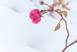 The frozen flowers of the roses which have been filled up with snow, winter outdoor