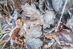 the frozen ice sheets in the winter , the snowflakes on the leaves