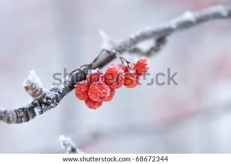 The frozen mountain ash on a branch