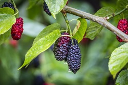 The fruit of black mulberry - mulberry tree