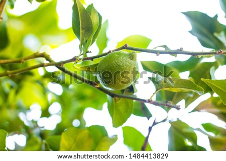 The fruit of lime is a bright green shade. Thin branches of the tree hold large and juicy fruits. The sun shines brightly through the leaves. #1484413829