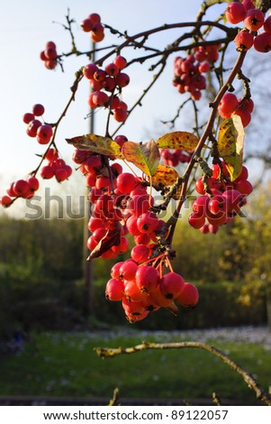 The fruit quince on a tree at christmas time.