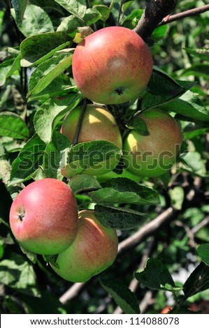 The fruits of apple trees growing on the tree. Red and green apples. Natural products.