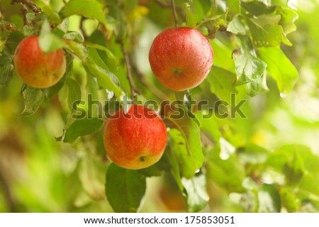 The fruits of apple trees growing on the tree. Red apples. Natural products.