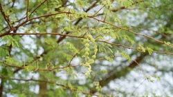 The Fruits of Vachellia nilotica commonly known as gum arabic tree, Babul, Thorn mimosa (kikar tree). Thorny acacia is a tree in Rajasthan, India