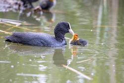 The fulica atra bird swims alongside its nestling in the pond. Green reeds are reflected in the water.