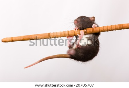 The funny  black baby rat pull itself up