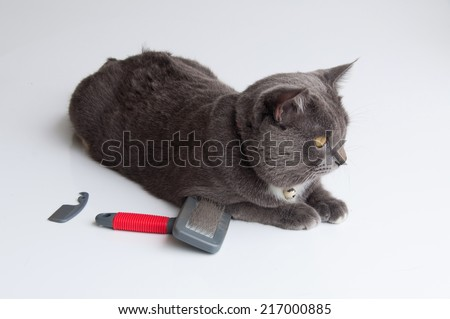 The fur brush and Cute gray cat on a white background