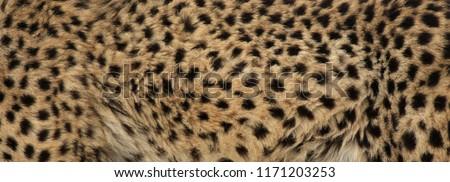 The fur of a cheetah (Acinonyx jubatus).