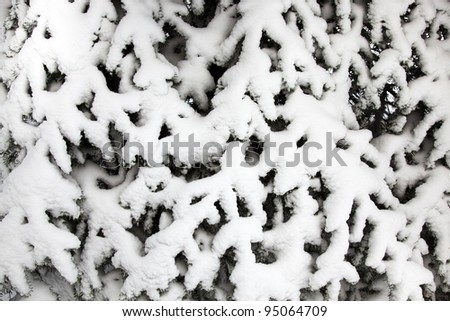The fur-tree covered with snow. A winter season